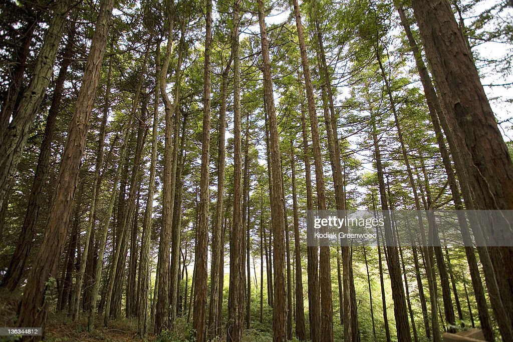 Forest of Redwoods : Stock Photo