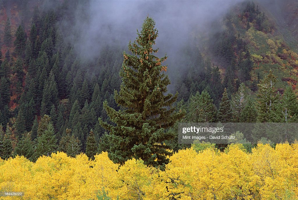 A forest of trees in the Wasatch mountains, with striking yellow autumn foliage. Green pine trees. Low clouds. : Stock Photo