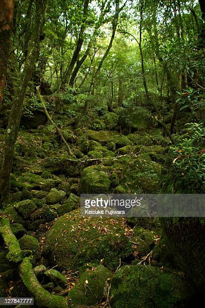 Forest of yakushima