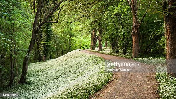 Forest path with wild garlic
