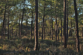 Forest Pine Trees in Loule, Algarve, Portugal