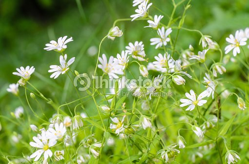 Forest Plant Stellate Flowers In Spring With Small White Flowers
