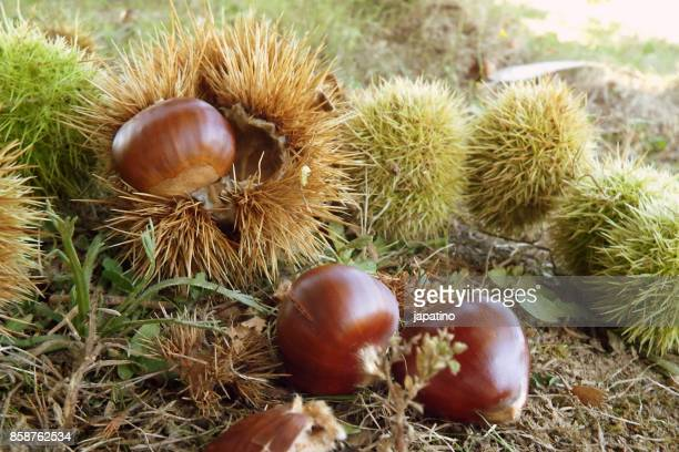 Forest Scene. Chestnuts