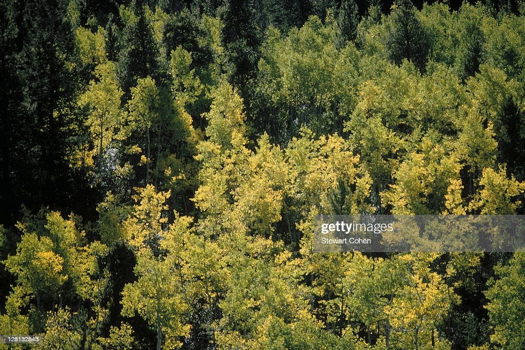 Forest shot from above Aspen, CO : Stock Photo