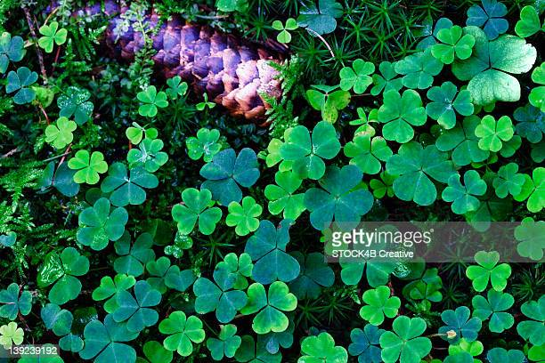 Forest soil covered with clover