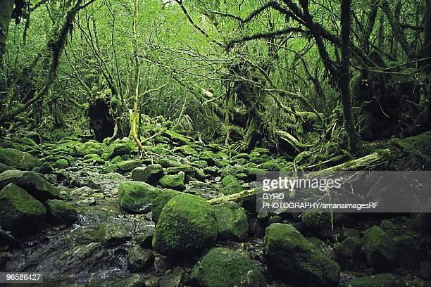 Forest stream in,  Yakushima Islands,  Kagoshima Prefecture,  Japan