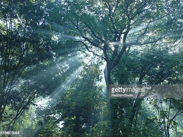 Forest Sunrays2