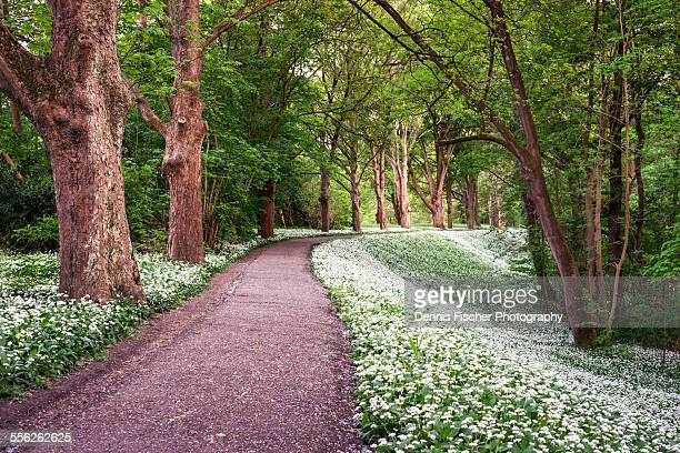 Forest trail with blooming wild garlic