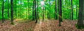 Woodland panorama with sunrays.