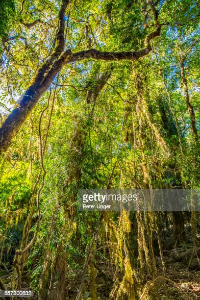 Forest trees covered in moss in Springbrook National Park,Queensland,Australia