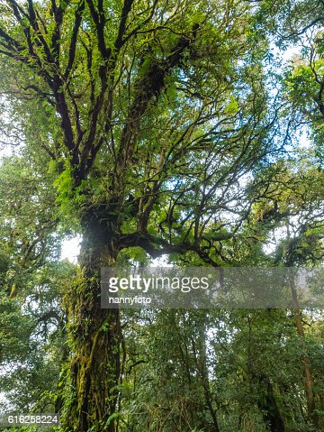 forest trees doi inthanon national park in chaing mai, thailand : Stock Photo
