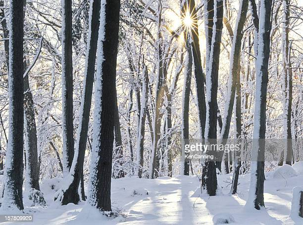 Forest trees with snow on ground and trees