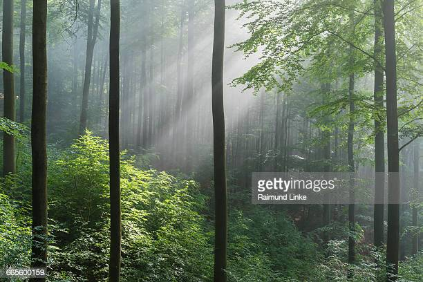 Forest with haze and sunbeams in the morning