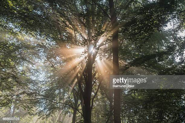 Forest with sun and sunbeams in the morning