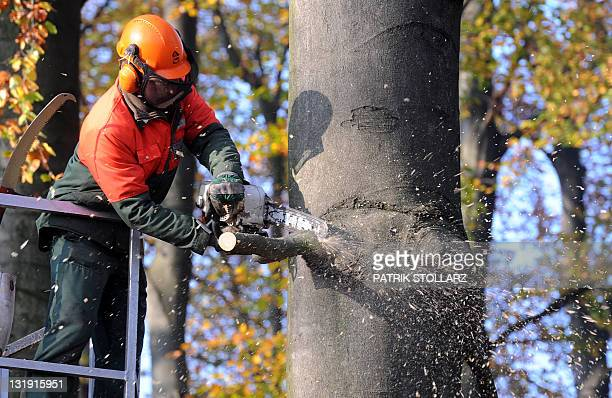A forest worker cuts off a branch of a tree with a chainsaw on November 8 2011 in a forest near Essen western Germany A study for the climate change...