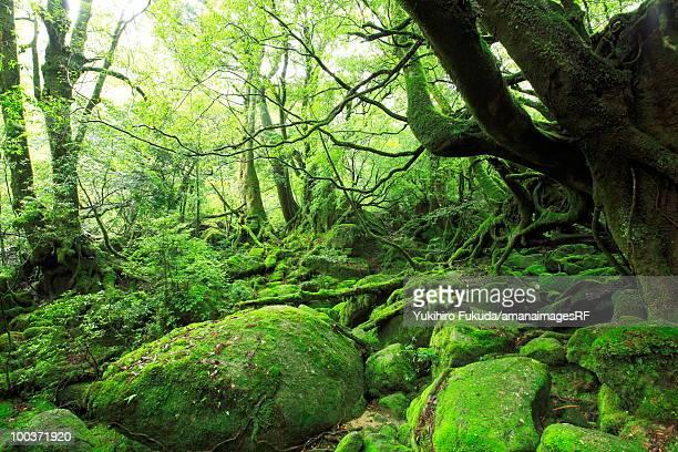 Forest, Yakushima Island, Kagoshima Prefecture, Kyushu, Japan