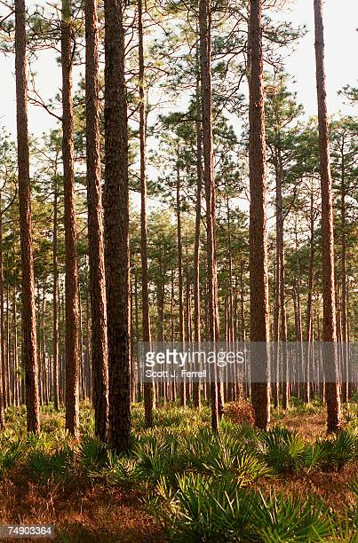FORESTPalmetto grows under a canopy of longleaf pines