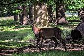 Forest's Dappled Light. Red Deer