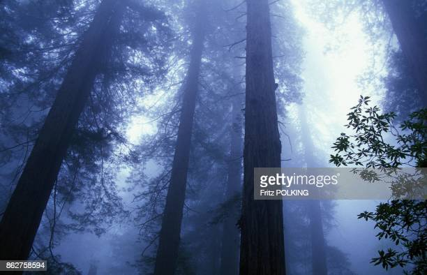 Foret de Sequoias dans la brume Parc National de Redwood Californie Etats Unis