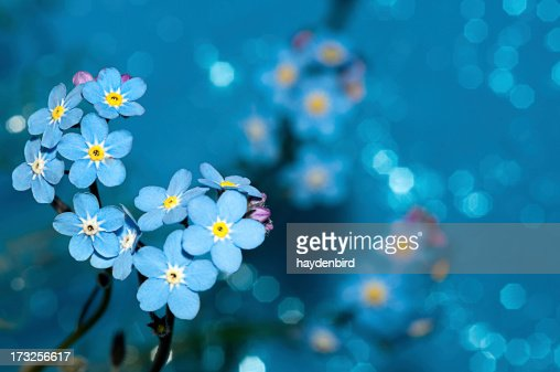 Forget me not 花、青色背景