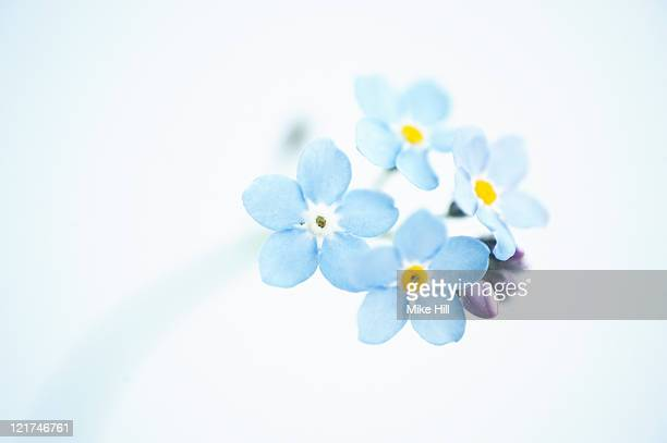 Forget-me-not Flowers (Myosotis arvensis), UK