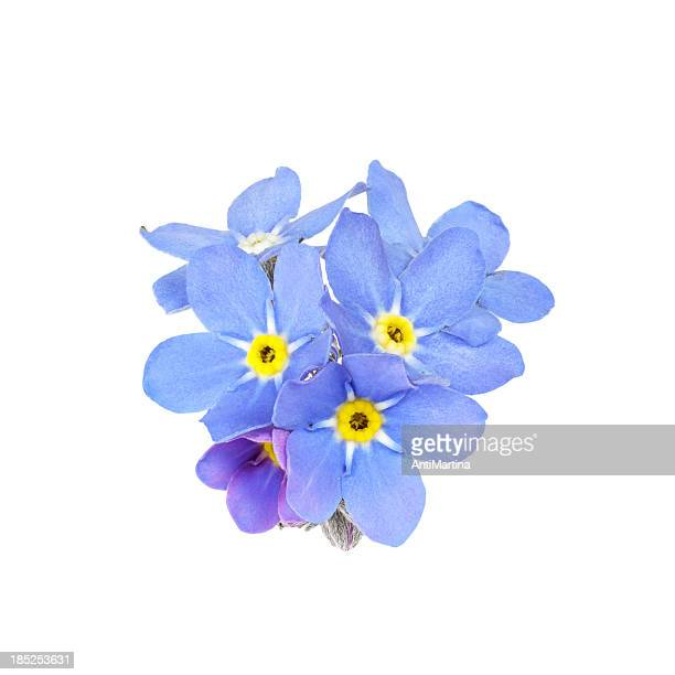 forget-me-not (myosotis) isolated on white