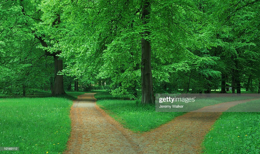 Fork in pathway through Beech forest : Stock Photo