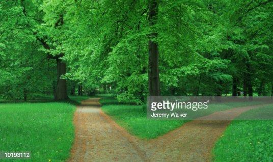 Fork in pathway through Beech forest : ストックフォト