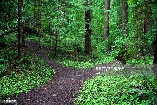 A forked path in a lush green forest