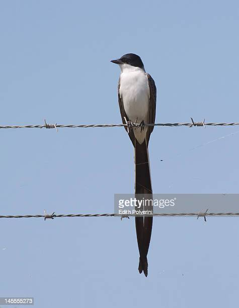 Fork-tailed Flycatcher birg on wire