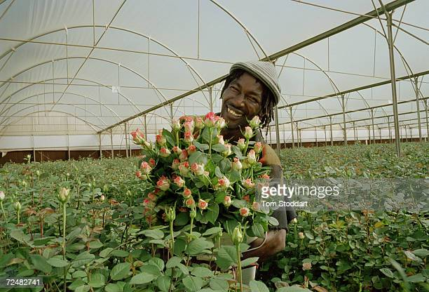 Former miner Smith Ramagaga harvests roses at the Living Gold Rose Farm near Carltonville South Africa The roses will be sold in european shops and...