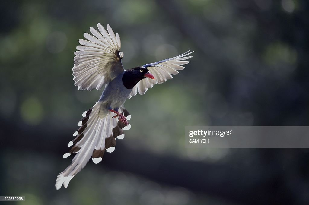 A Formosan blue magpie flies through the air at a local park in Taipei on April 29, 2016. The Taiwan blue magpie, also called the Taiwan magpie, Formosan blue magpie or the 'long-tailed mountain lady', is a member of the crow family. It is an endemic species living in the mountains of Taiwan at elevations of 300 to 1200 metres. / AFP / SAM YEH
