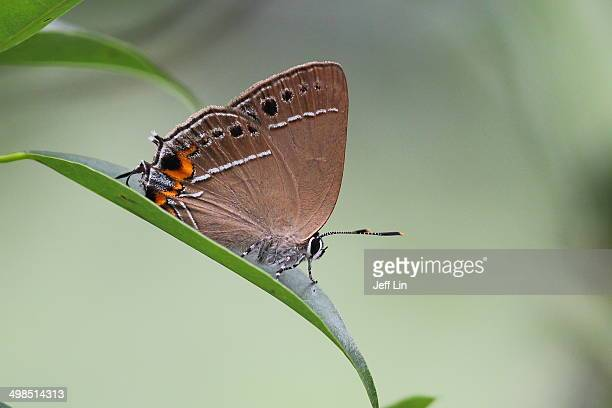 Formosan Hairstreak