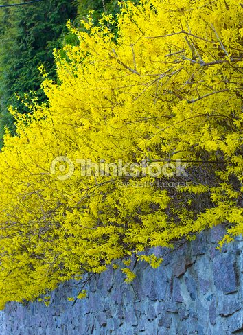 Forsythia A Bush Blooming In Early Spring Bright Yellow Stock Photo