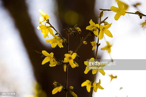 Forsythia bush blossoms