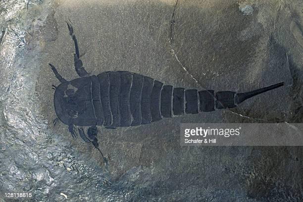 Fossil. Eurypterid silurian. Eurypterus remipes.