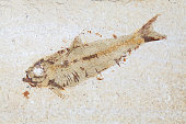 Fossil fish. Close up of prehistoric Knightia alta specimen from Eocene period alive 40 million years ago in Wyoming USA.