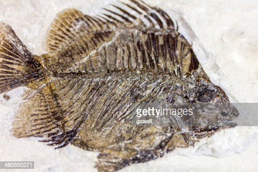 Fossil Fish : Stock Photo