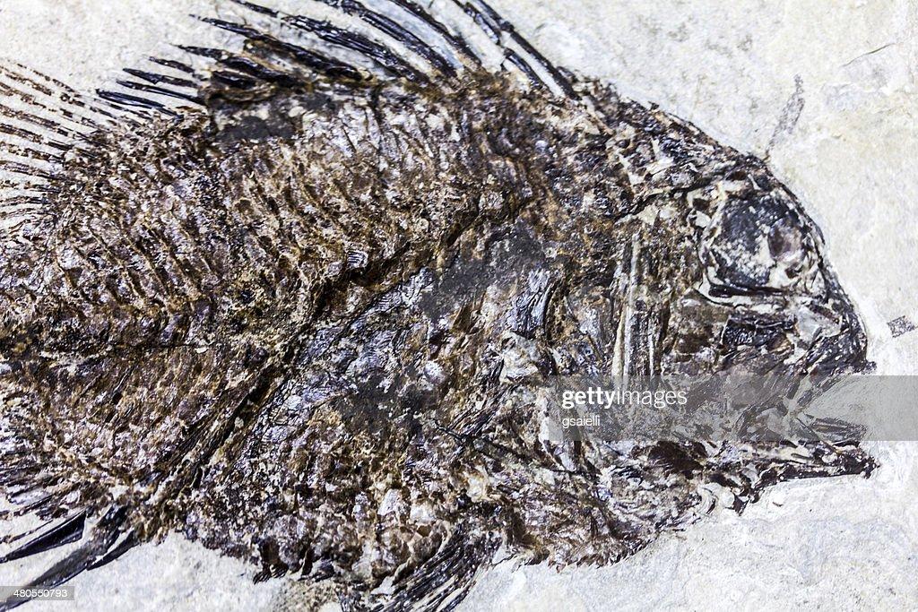 Fossil Fish : Stock Photo