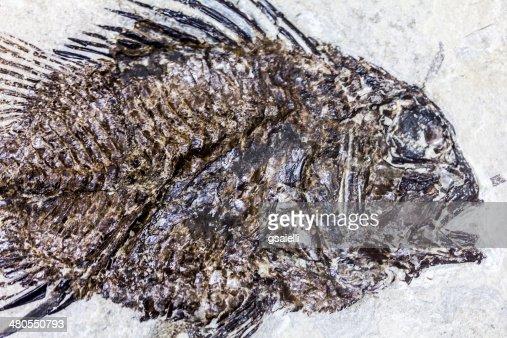 Pescado fósil : Foto de stock