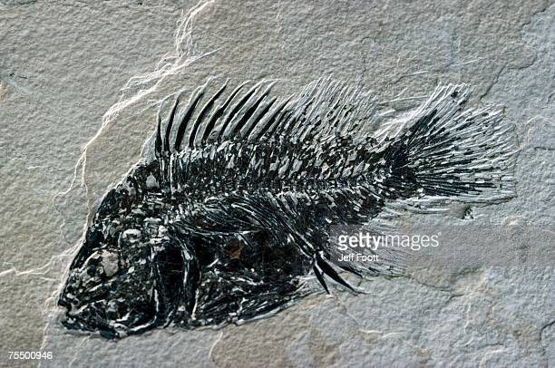 Fossil fish - priscacara. Green River Formation, Wyoming. USA