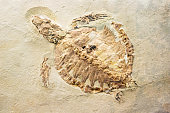 Fossil of a prehistoric turtle