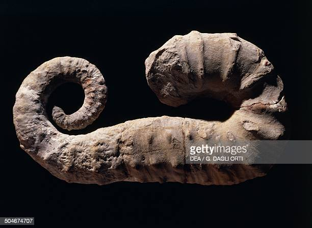 Fossil of Ancyloceras matheronianum ammonite Cephalopoda Early Cretaceous