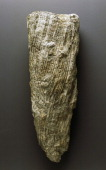 Fossil of Right conic valve of Hippurites sp Hippuritidae Bivalvia Cretaceous