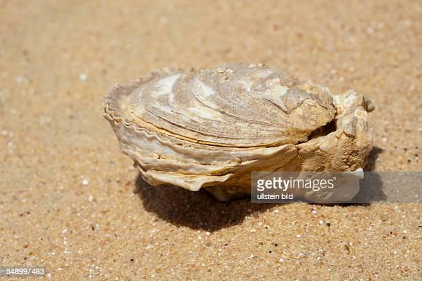 Fossil Shells in Desert Bahariya Oasis Libyan Desert Egypt