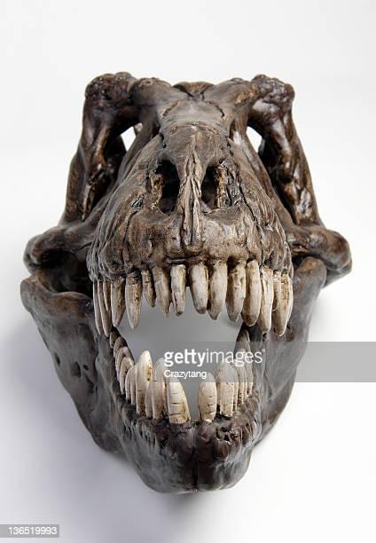 Fossil t-rex