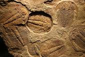 fossil trilobite imprinted in the sediment