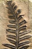 Fossilised Fern Leaf embedded in limestone