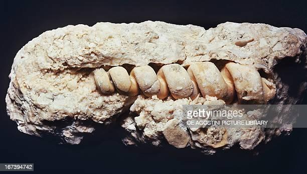 Fossilised shell of Turritella cathedralis Gastropods Miocene Epoch Sardinia Italy Milan Museo Civico Di Storia Naturale
