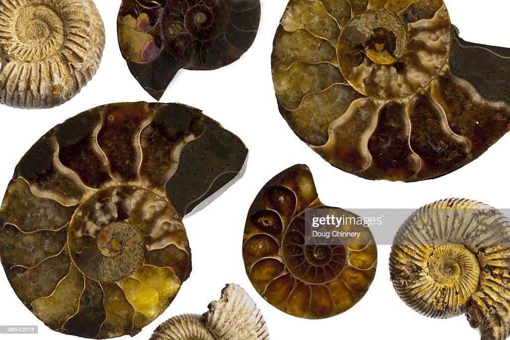 Fossilized Fibonacchi Spirals : Stock Photo